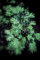 Yew tree leaf  Natural Park of San Zadornil and Forestry Obarenes  Burgos  Castilla y Le&#243;n  Spain
