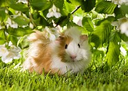 young Rosette guinea pig on meadow