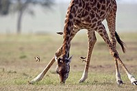 Maasai Giraffe (Giraffa camelopardalis tippelskirchi) bending down to feed surrounded by Yellow-billed oxpeckers (Buphagus africanus), Maasai Mara Nat...