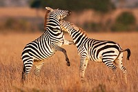 Common or plains zebra (Equus burchellii) fighting, Maasai Mara National Reserve, Kenya