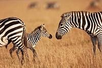 Common or plains zebra (Equus burchellii) female and young foal, Maasai Mara National Reserve, Kenya