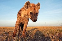Spotted hyena (Crocuta crocuta) adolescent looks on with curiosity - wide angle perspective-, Maasai Mara National Reserve, Kenya