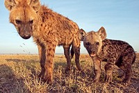 Spotted hyena (Crocuta crocuta) adolescent and curious pup -wide angle perspective-, Maasai Mara National Reserve, Kenya