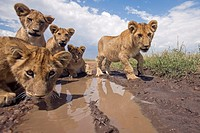 Lion cubs (Panthera leo) drinking from a puddle -wide angle perspective-, Maasai Mara National Reserve, Kenya