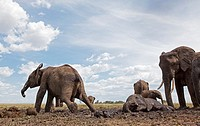 African elephant baby (Loxodonta africana) having a mud bath watched over by an adult -wide angle perspective-, Maasai Mara National Reserve, Kenya