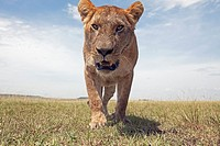 Lioness (Panthera leo) approaching with curiosity -wide angle perspective-, Maasai Mara National Reserve, Kenya