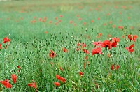PAPAVER POPPIES IN A FIELD