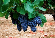 France, Provence, Rhone Valley, grapes