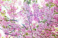 Sun shining through branches of cherry tree in spring