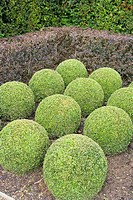 BUXUS MICROPHYLLA _ CLIPPED BOX BALLS