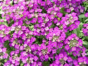 LOBULARIA MARITIMA PURPLE