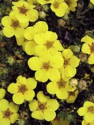 POTENTILLA FRUTICOSA ´FARRERI´ SYN. POTENTILLA FRUTICOSA ´GOLD DROP´