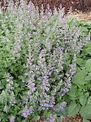 NEPETA RACEMOSA WALKER´S LOW