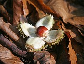 A Sweet Chestnut opening out from it's spiky shell case on a bed of leaves
