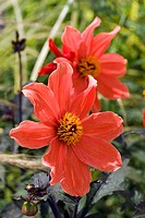 DAHLIA ´BISHOP OF LLANDAFF´
