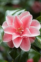 CAMELLIA WILLIAMSII ´DONATION´