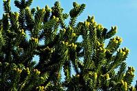 NEWLY FORMING CONES ON ARAUCARIA ARAUCANA MONKEY PUZZLE TREE