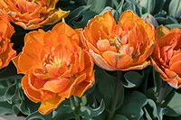 TULIPA ORANGE PRINCESS DOUBLE