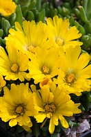 DELOSPERMA CONGESTIFOLIA GOLDEN NUGGET