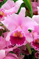CATTLEYA ARIEL ´SUSAN´ ORCHID. COLLECTION VACHEROT_LECOUFLE