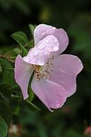 ROSA CANINA ´SYDVAL´ ROSE. ROSE BUSH BOTANICAL. NURSERY RAYMOND LOUBERT