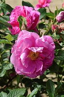 ROSA ´WILL ALDERMAN´ ROSE. NURSERY RAYMOND LOUBERT
