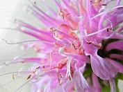 Wild bergamot Monarda fistulosa flower