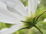 White cosmos Cosmos bipinnatus flower in Summer meadow, viewed from below
