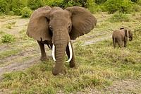 Loxodonta africana African elephant Manyara National Park Tanzania Africa