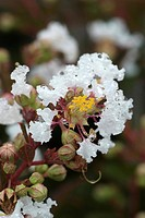 LAGERSTROEMIA INDICA ´PETITE CANAILLE´ WHITE LILAC DES INDES. NURSERY DESMARTIS