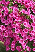 SURFINIA ´HOT PINEK´ PETUNIA