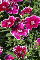 DIANTHUS CHINENSIS ´IDEAL PICOTEE VIOLET´ ´ILLET OF CHINA DWARF HYBRID CARYOPHYLLACEAE ANNUAL FLOWERING OF MAY WITH OCTOBER