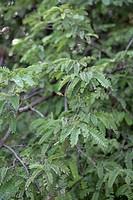 TAMARINDUS INDICUS TAMARIN FABIACEAE TREE TROPICAL EDIBLE CAMBODGE