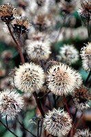 LIGULARIA DENTATA SEEDHEADS IN EARLY NOVEMBER