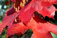 ACER PALTINOIDES ´CRIMSON KING´ AGM AUTUMN COLOUR