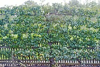 PYRUS COMMUNIS ´BEURRE HARDY´ TRAINED AS ESPALIER WITH STEPOVER APPLE ´EGREMONT RUSSET´ AT ITS FEET.