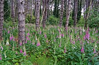 FOXGLOVES DIGITALIS PURPUREA GROWING WILD IN CONIFEROUS WOODLAND