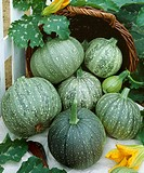Courgettes, variety ´Rondo de Nice´