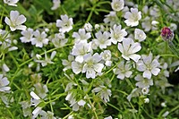 LIMNANTHES DOUGLASII NIVEA MERINGUE