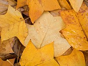 LIRIODENDRON TULIPIFERA TULIP TREE LEAVES IN AUTUMN
