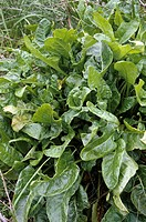 Sea Spinach Growing