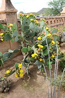 Large Yellow Cactus Plant in Courtyard at Mission San Xavier del Bac Tucson Arizona