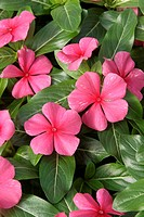 CATHARANTHUS ROSEUS ´RIVIERA RED SALMON´