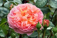 ROSA ´ABRAHAM DARBY´