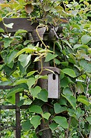 ACTINIDIA SPEC. KIWI WITH NEST BOX