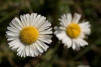 Southern Daisy Bellis sylvestris