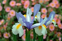 IRIS SILVER BEAUTY DUTCH IRIS WITH HELIANTHEMUM WISLEY PINK
