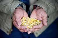 Handful of corn kernels
