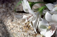 White Lilies _ Plant _ Exotic _ Nature