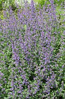 NEPETA ´SIX HILLS GIANT´